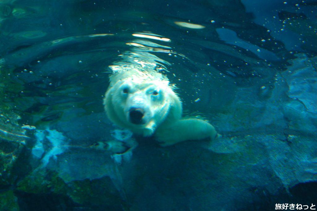 円山動物園のホッキョクグマ・リラが可愛かった