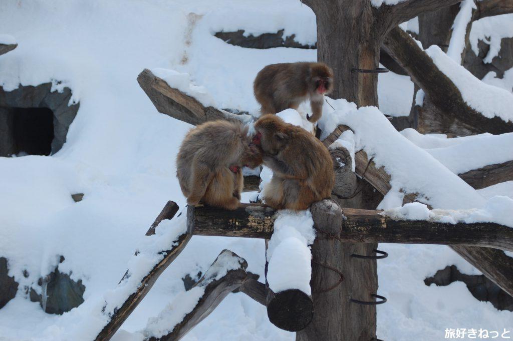 円山動物園のサル山の猿(ニホンザル)写真