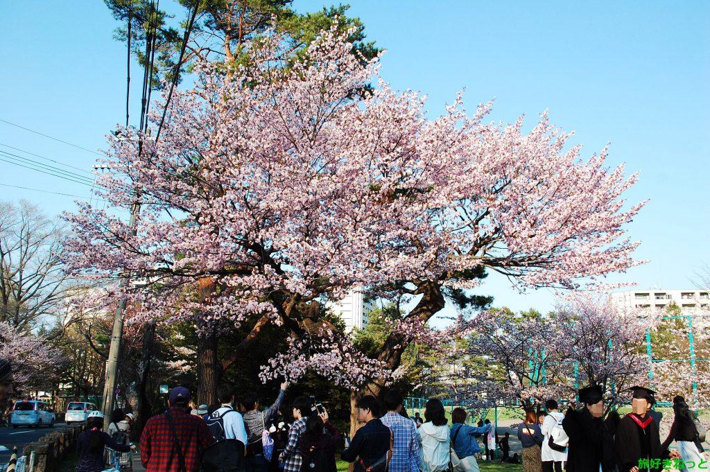 円山公園(中央区)の桜開花、お花見客や桜の写真撮影の客で賑わう。