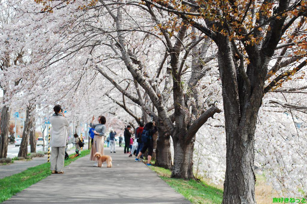 【新川通 桜並木レポ】北海道最長の桜並木を見てきたよ!