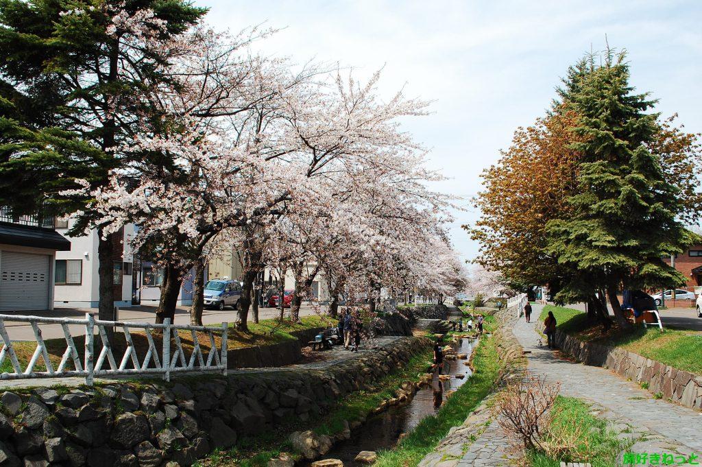 【安春川 桜並木レポ】北区新琴似で綺麗な桜を見たいならおすすめ!