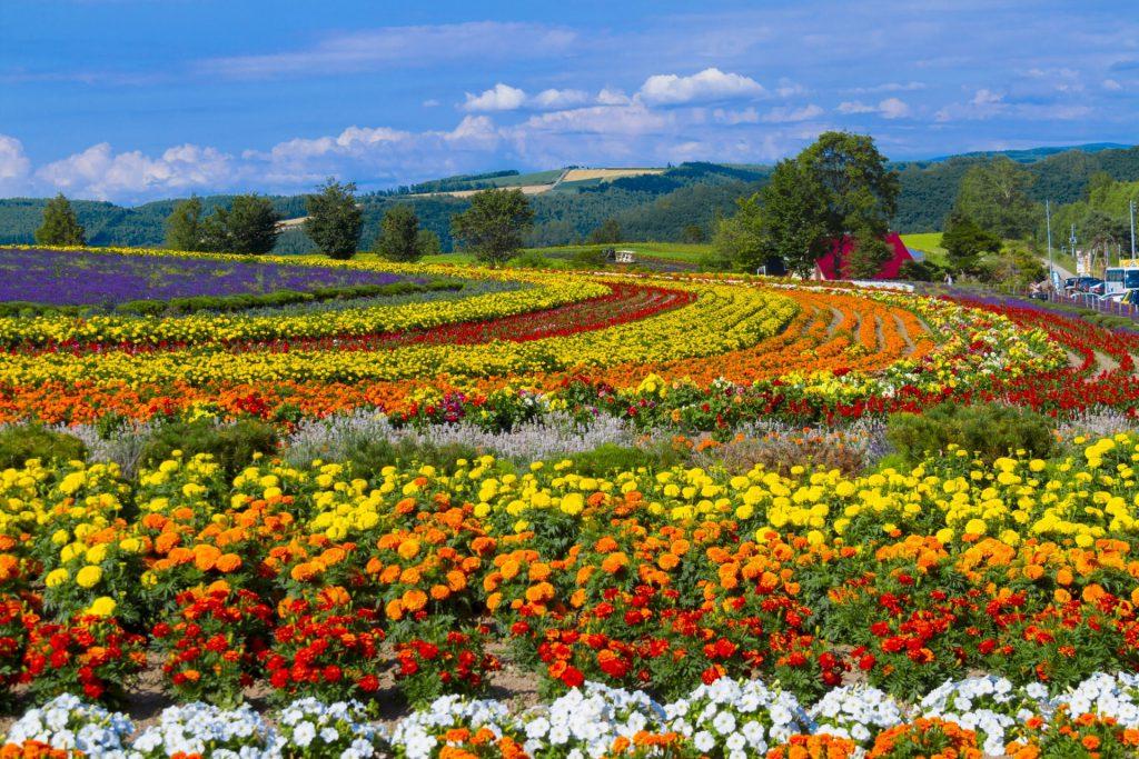 富良野からも近い『ぜるぶの丘』ひまわり畑の見頃時期や楽しみ方