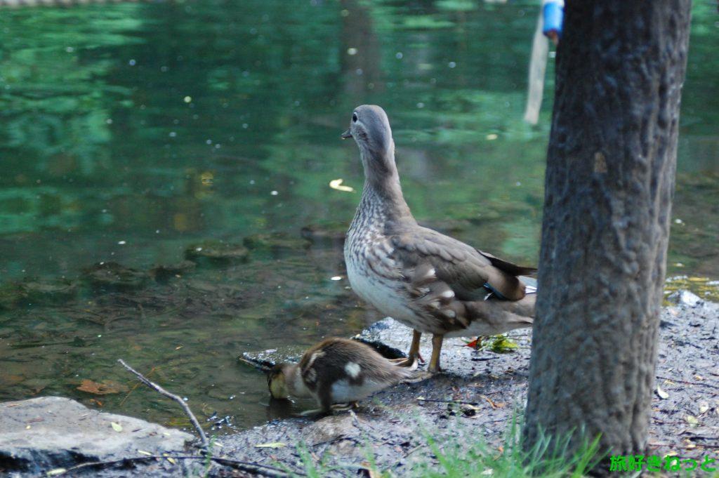円山公園の池の鴨が可愛かったよ。写真も撮影したよー