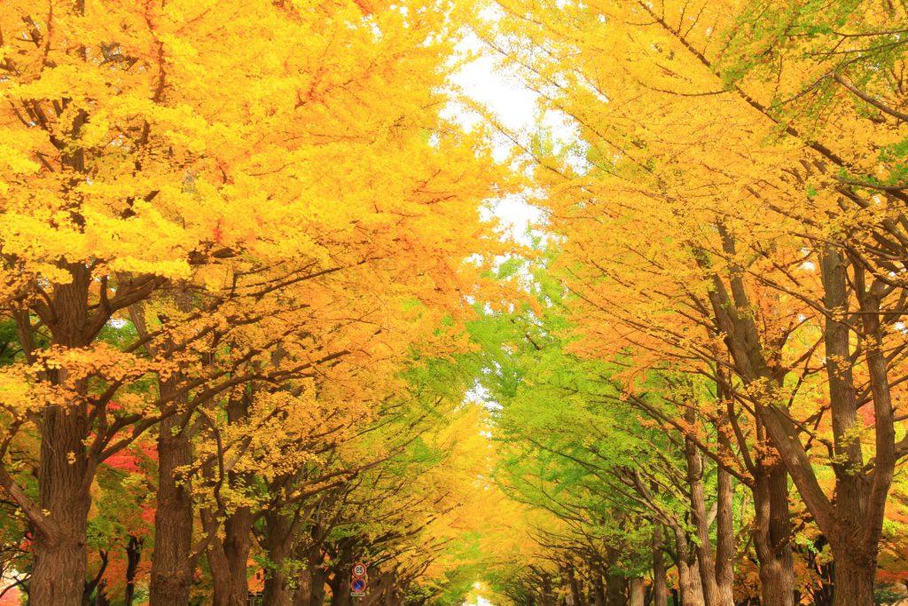 北大の紅葉、見頃は10月下旬イチョウ並木ライトアップがおすすめ!