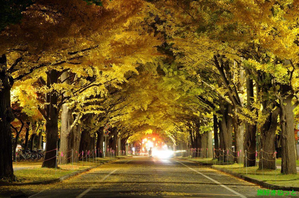 北大イチョウ並木のライトアップなし夜景紅葉撮影してきた