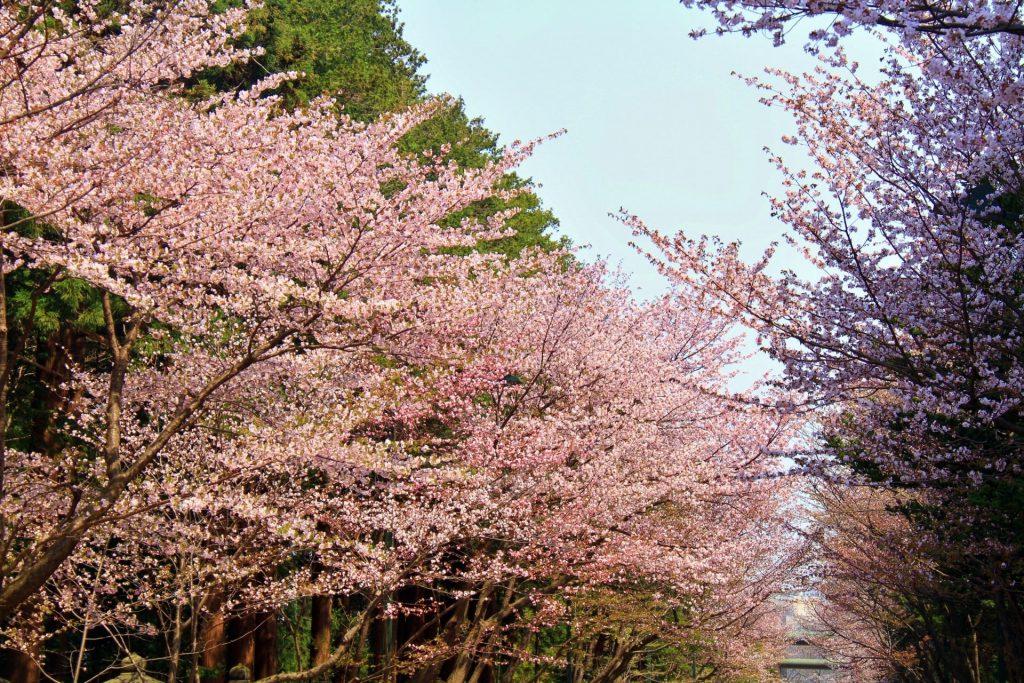 北海道神宮の桜、円山公園近くにあり参拝客やお花見客で毎年賑わう