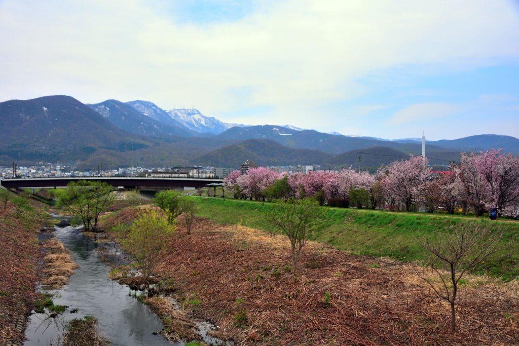発寒河畔公園の桜、河川敷の桜並木を見ながら春を楽しむ