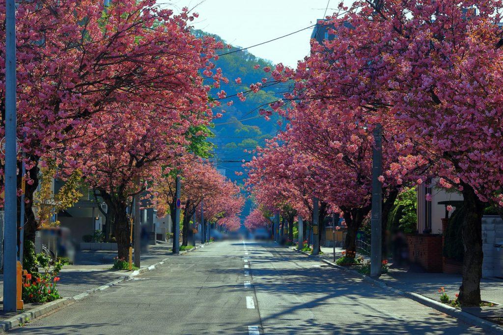 南円山(南4条線)の桜、開花と見頃時期