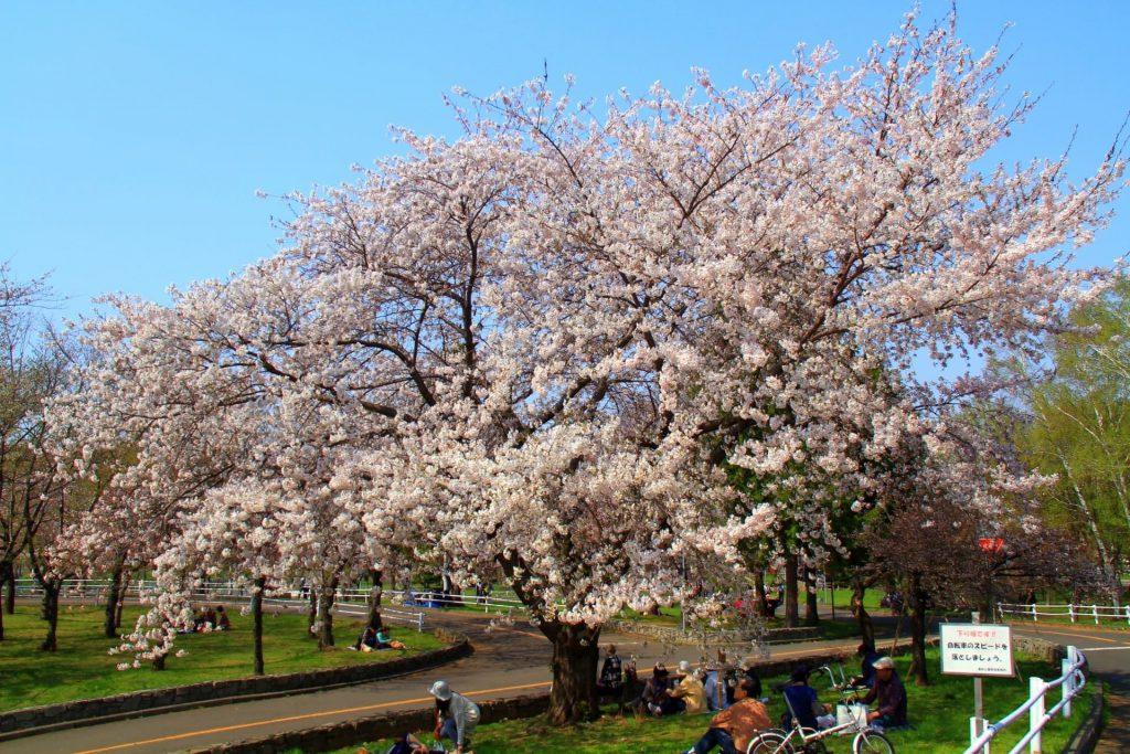 農試公園の桜、自転車練習コースに開花した桜にお花見客で集う