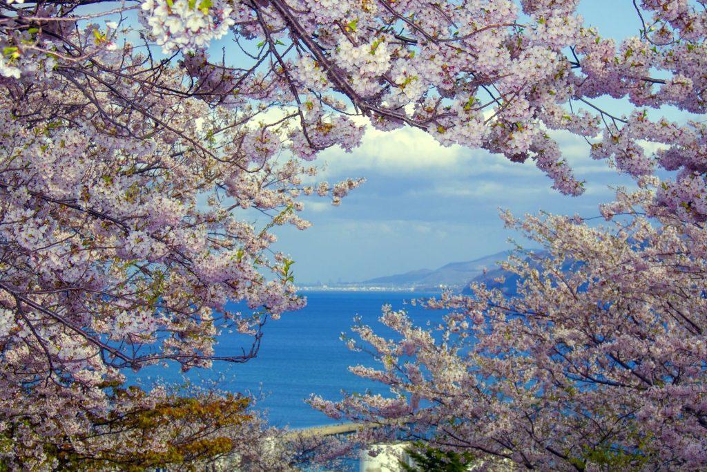 手宮公園の桜、丘の上から桜と海を見下ろせる絶景スポット