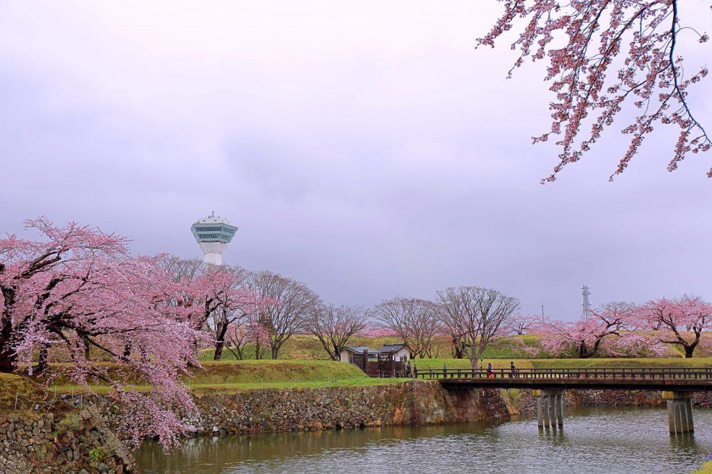 五稜郭の桜、満開のソメイヨシノがライトアップ時間に「夜桜」へ。素敵です