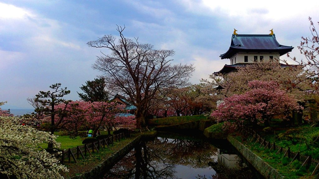 松前公園の桜、種類も多く見応えあり!GWに満開となる桜がおすすめ