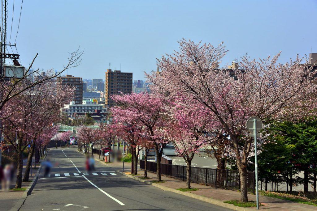 藻岩山麓通の桜、もいわ山ロープウェイ入口まで桜並木を堪能できる
