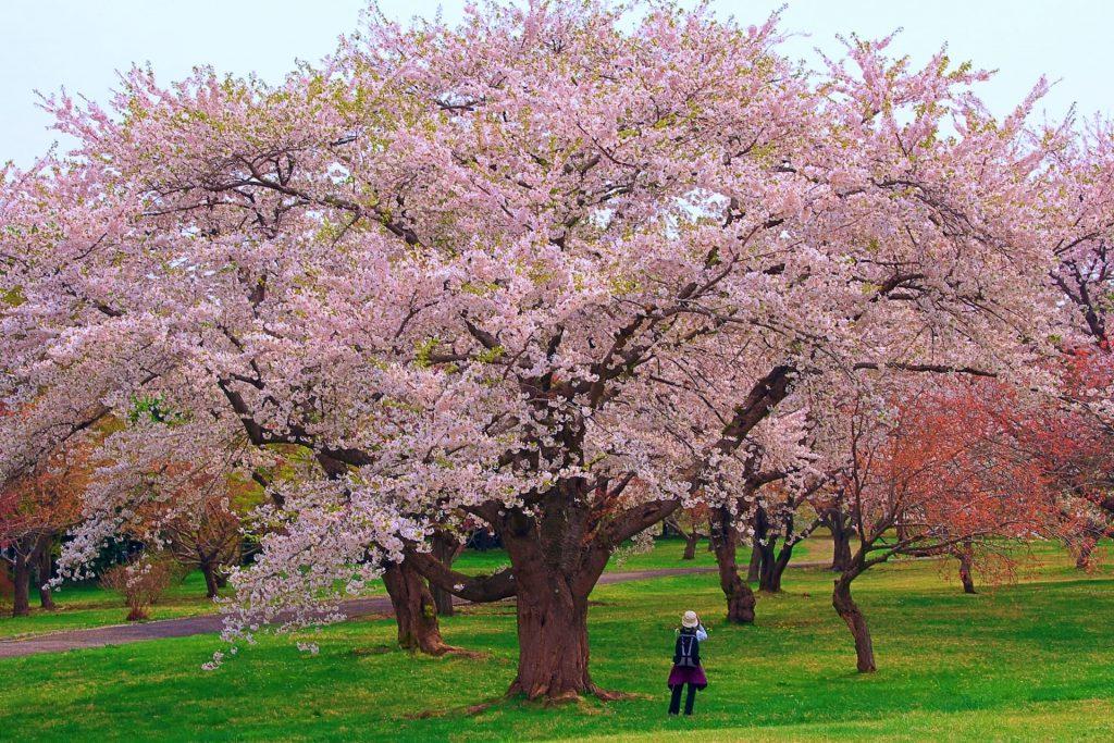 森町青葉ヶ丘公園の桜、100年越えの巨樹や固有種など祭り期間中楽しめる
