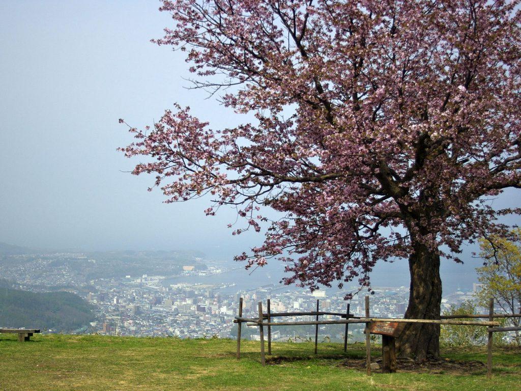 小樽天狗山の桜、小樽市内の風景と桜を一緒に撮れるスポット