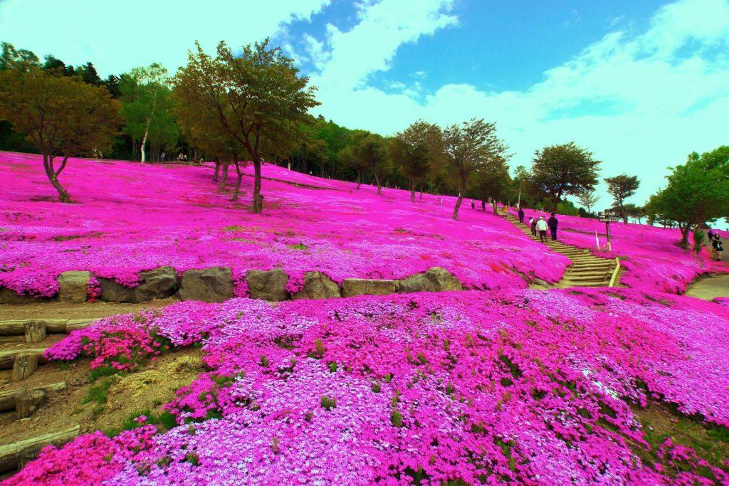 芝ざくら滝上公園、全国で最初に芝桜公園をはじめた名所