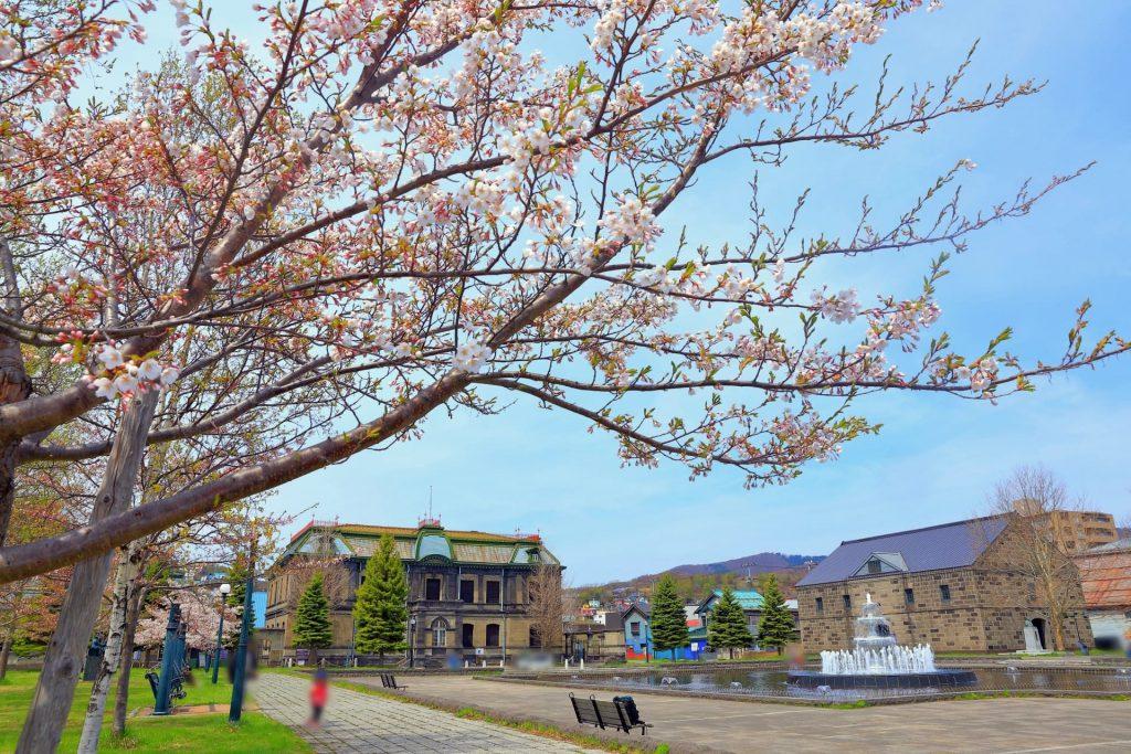 運河公園の桜「開花と見頃時期」噴水と満開の桜に癒される