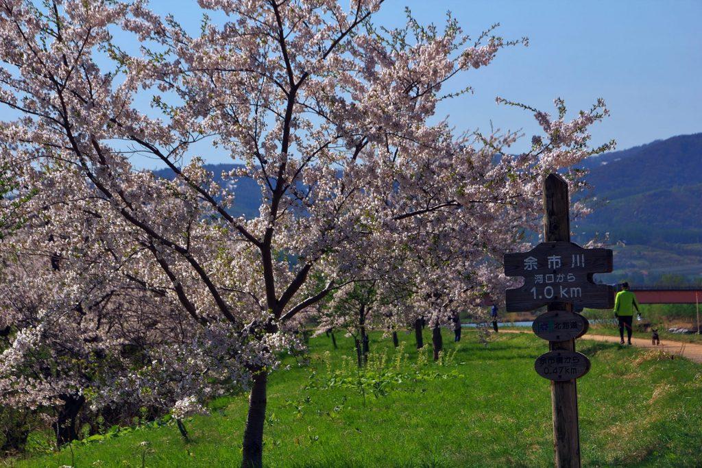 余市川の桜、ソメイヨシノの桜並木(桜づつみ)は春のドライブにおすすめ