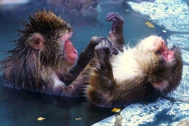 函館市熱帯植物園のサル山温泉は冬~春のGWまで猿の入浴が楽しめる