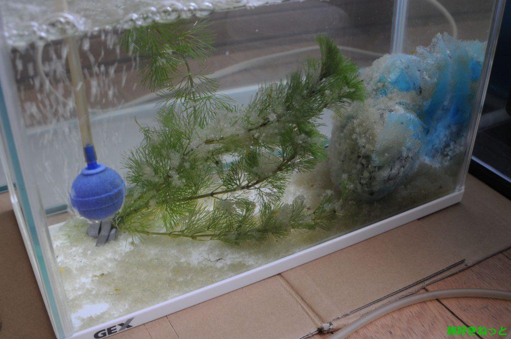 水槽飼育の錦鯉が大量に卵を産んだが受精卵かはまだ不明