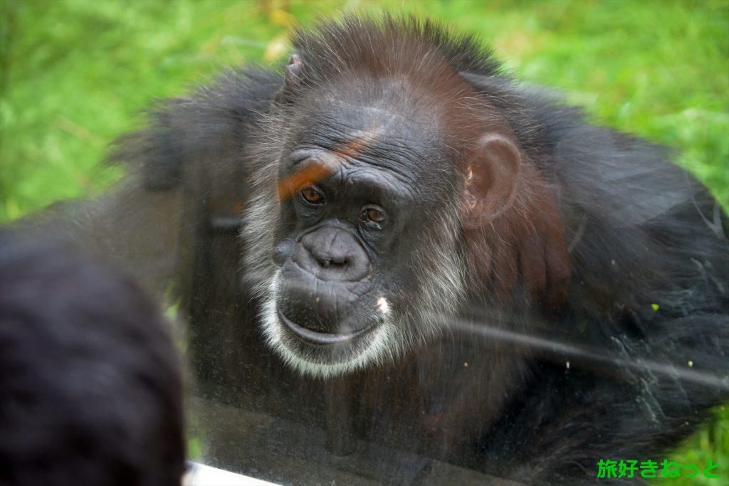 人間に最も近い円山動物園のチンパンジーを見るのにおすすめの場所
