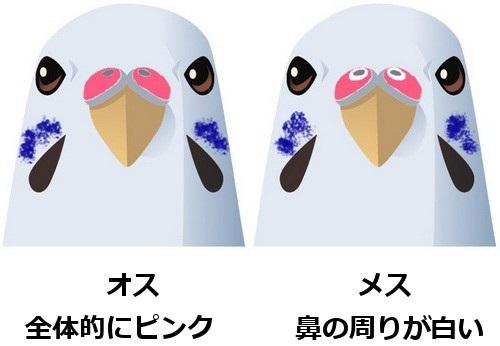 セキセイインコ雛から成鳥へ性別の見分け方を写真で解説