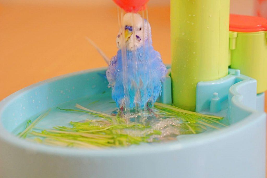 セキセイインコの水浴び動画「見てるだけで癒される」5選