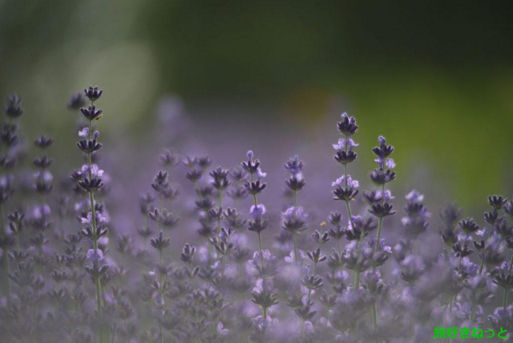 百合が原公園のラベンダーが開花したので写真撮影してきました